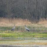 kraanvogel; European crane; grus grus